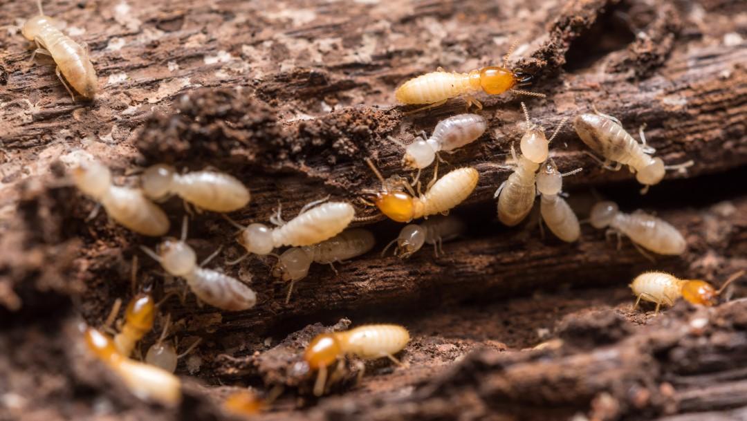 éliminer les termites